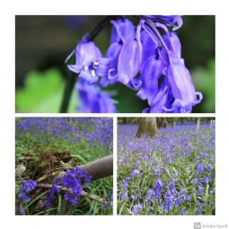 Bluebells Cultivated English